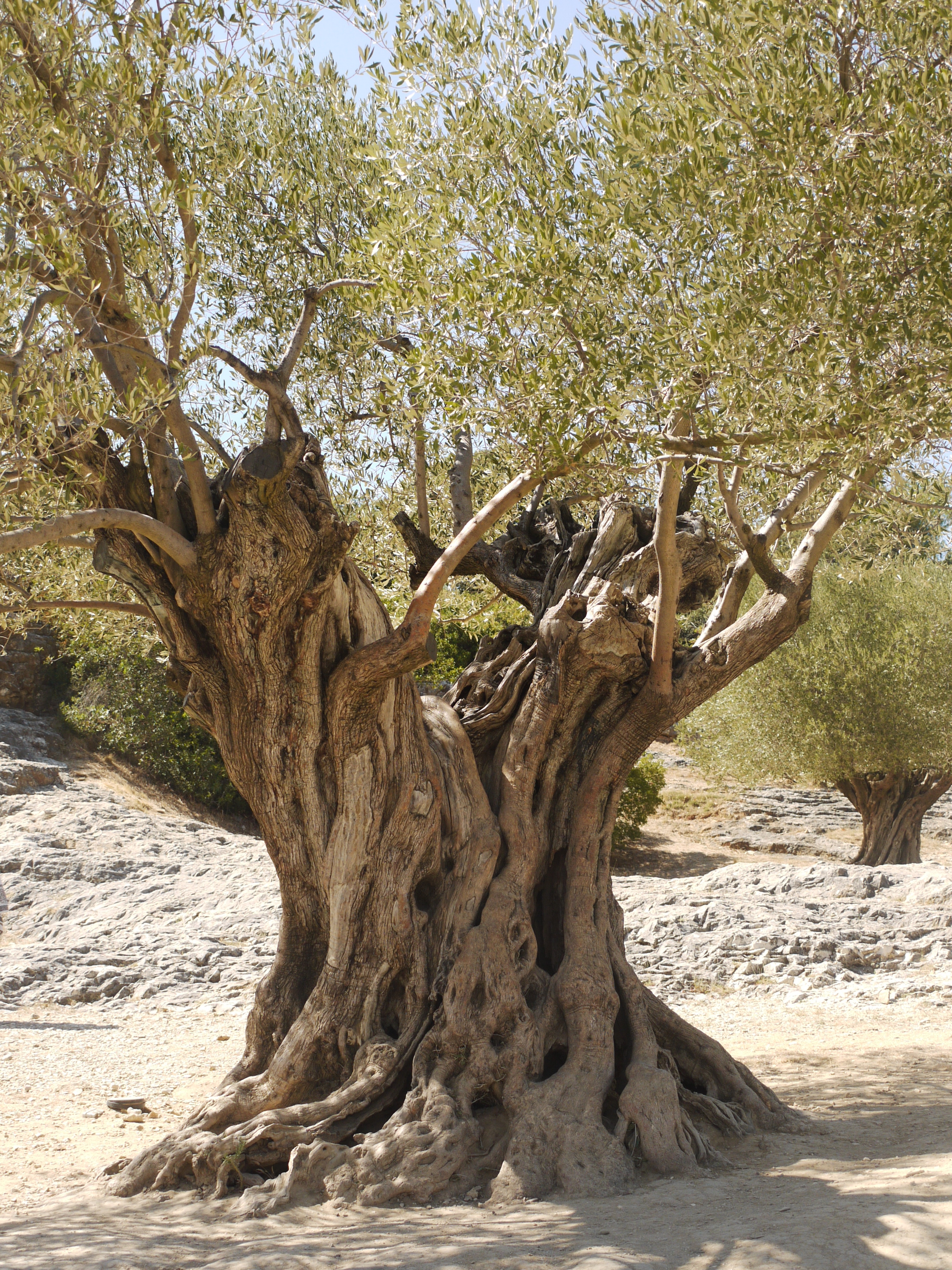 Signe de l 39 olivier et de l 39 h tre le blog de bricabracdeval for De l arbre au meuble