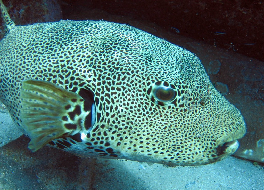 Arothron stellatus wikipedia for Puffer fish images