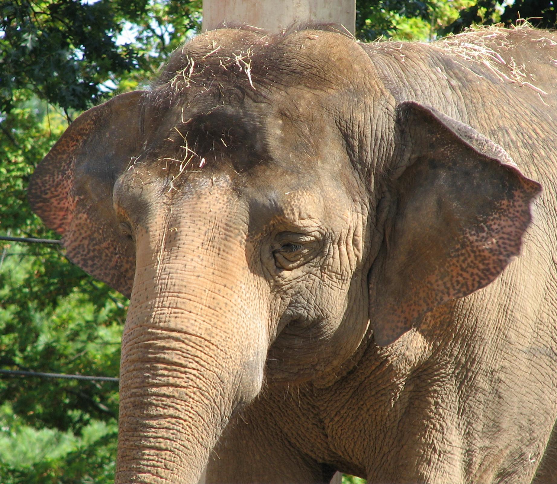File:Asian Elephant Image 001.jpg - Wikipedia