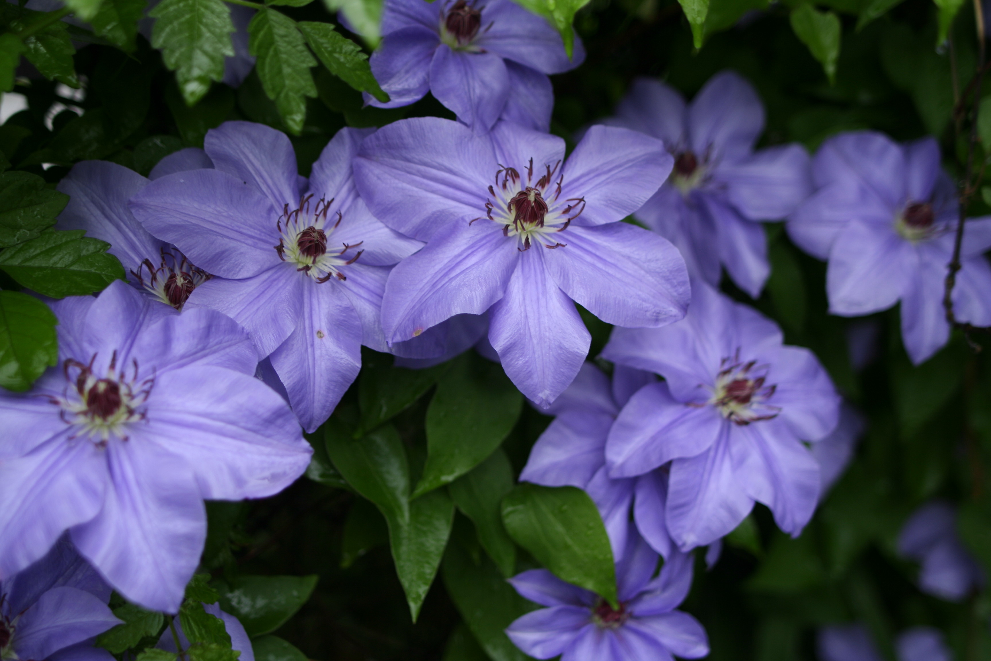 Filebeautiful Flowers Clematis Blueg Wikimedia Commons