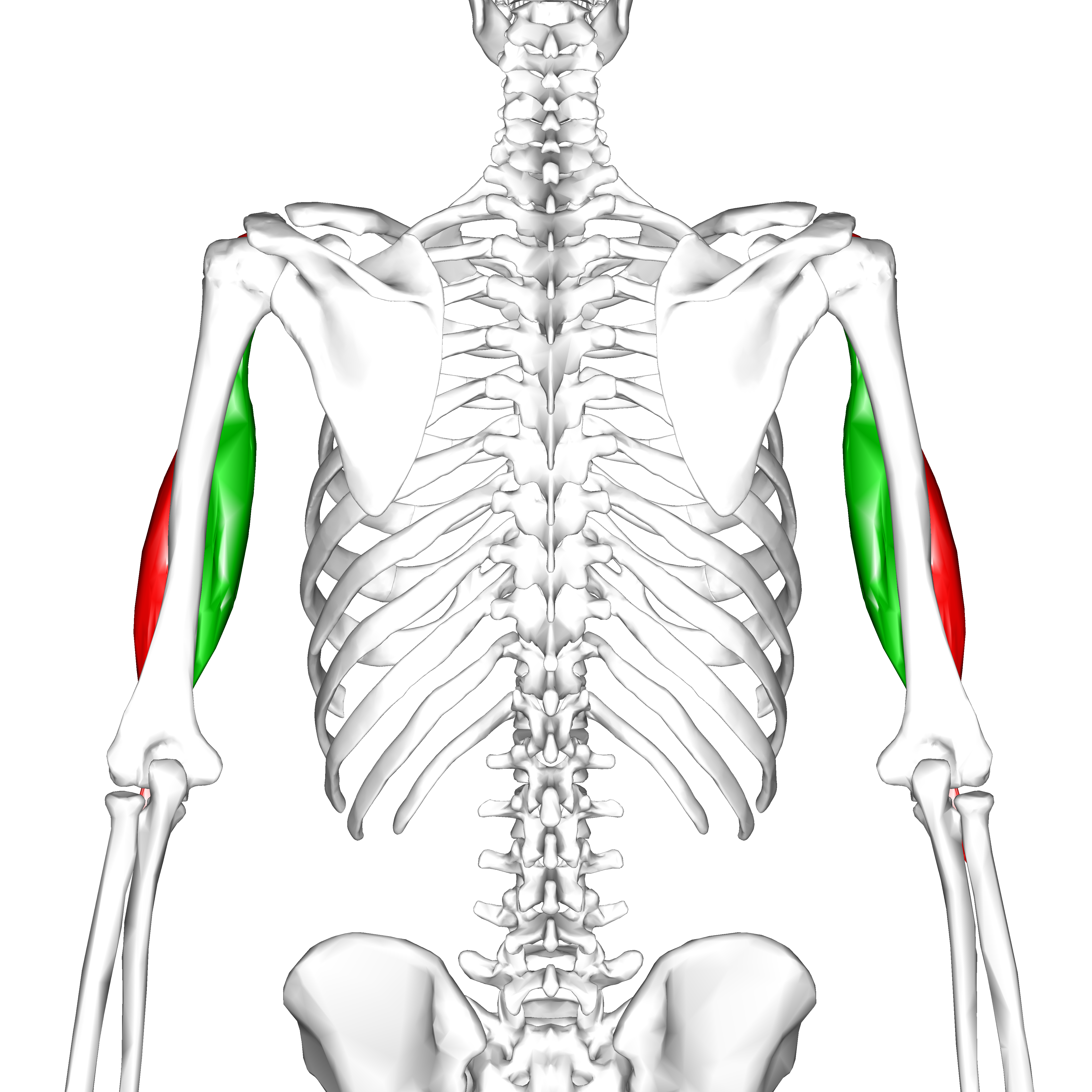 File:Biceps brachii muscle10.png - Wikimedia Commons