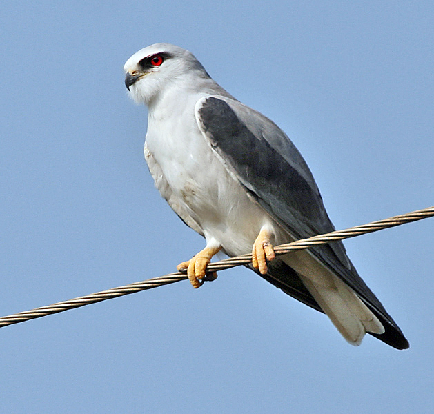File:Black-shouldered Kite (Elanus caeruleus) in Kawal WS, AP W IMG 1681.jpg