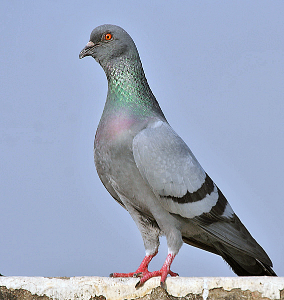 File:Blue Rock Pigeon (Columba livia) in Kolkata I IMG 9762.jpg
