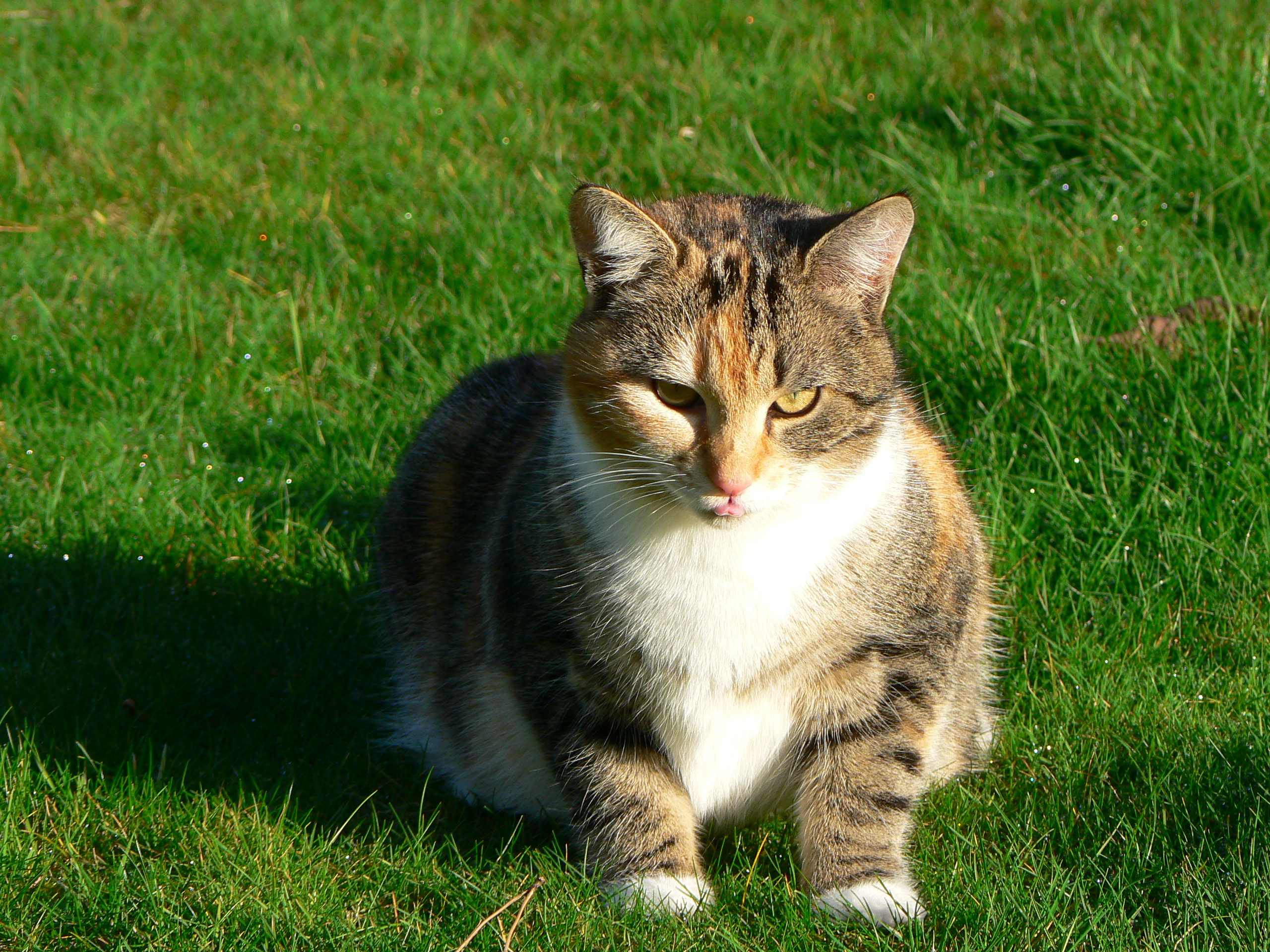 Brown And White Tabby Cat Pictures to Pin on Pinterest ... Tabby Norwegian Forest Cat