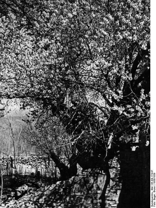 Filebundesarchiv Bild 135 Bb 174 07 Tibetexpedition Aprikosenbaum