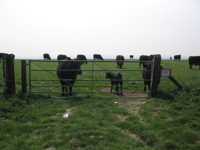 Cattle on White Sheet Hill - geograph.org.uk - 417297