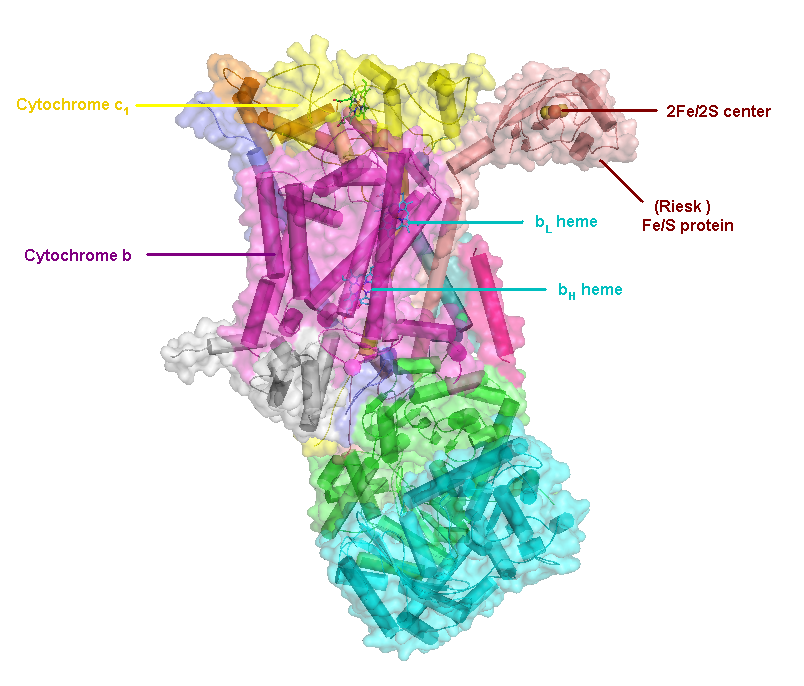 Image of the Complex III molecule, showing the binding site for Cytochrome C near the top in yellow. (C31004 at English Wikipedia [CC BY-SA 3.0 (https://creativecommons.org/licenses/by-sa/3.0)])