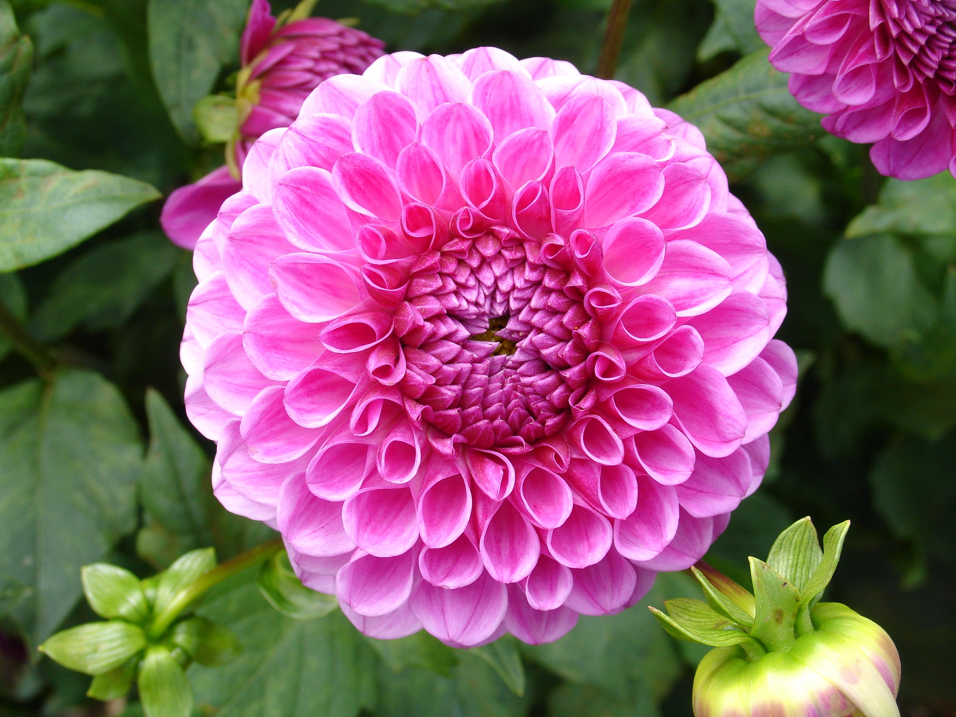 File Dahlie Violett Jpg Wikimedia Commons