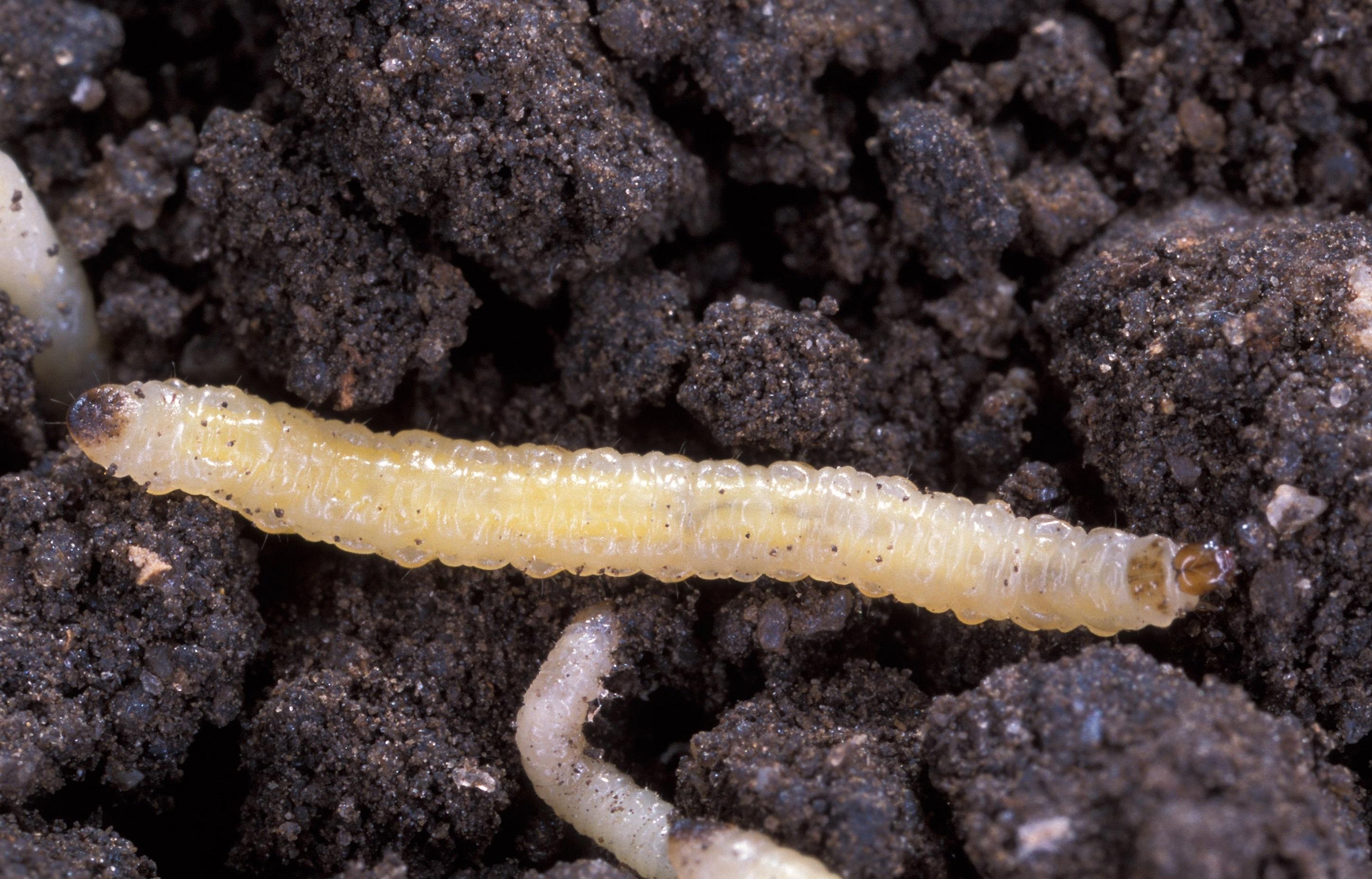 Larva di diabrotica