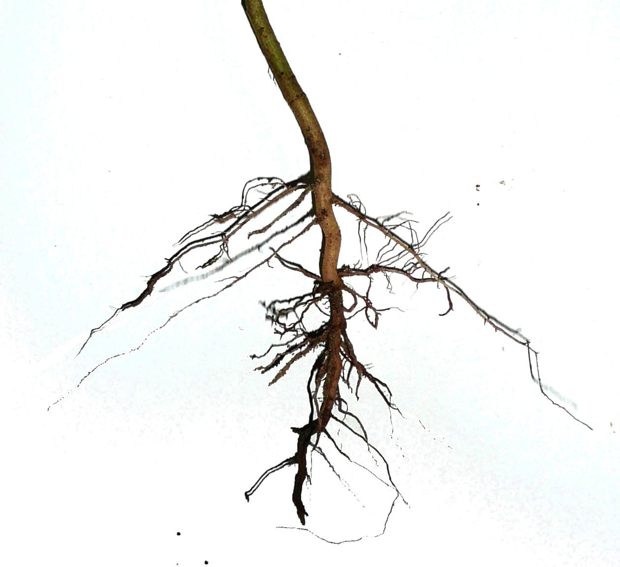 Rezultat iskanja slik za root