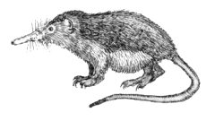 Venomous mammal animal of the class Mammalia that produces venom, which it use to kill or disable prey, or to defend from predators or conspecifics