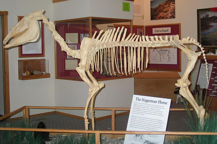 http://upload.wikimedia.org/wikipedia/commons/4/43/Equus_simplicidens_mounted_02.jpg