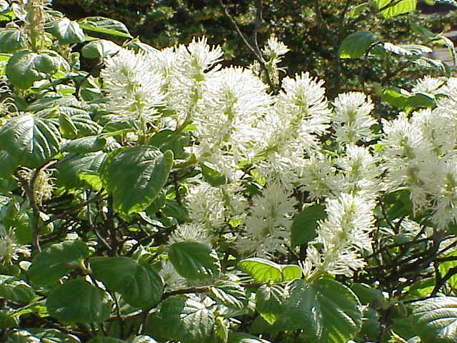 Fothergilla Mt. Airy courtesty of Wiki Commons