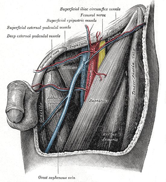 Triángulo femoral - Wikipedia, la enciclopedia libre