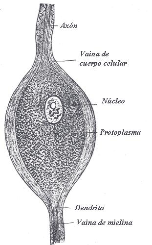 neuronas-bipolares