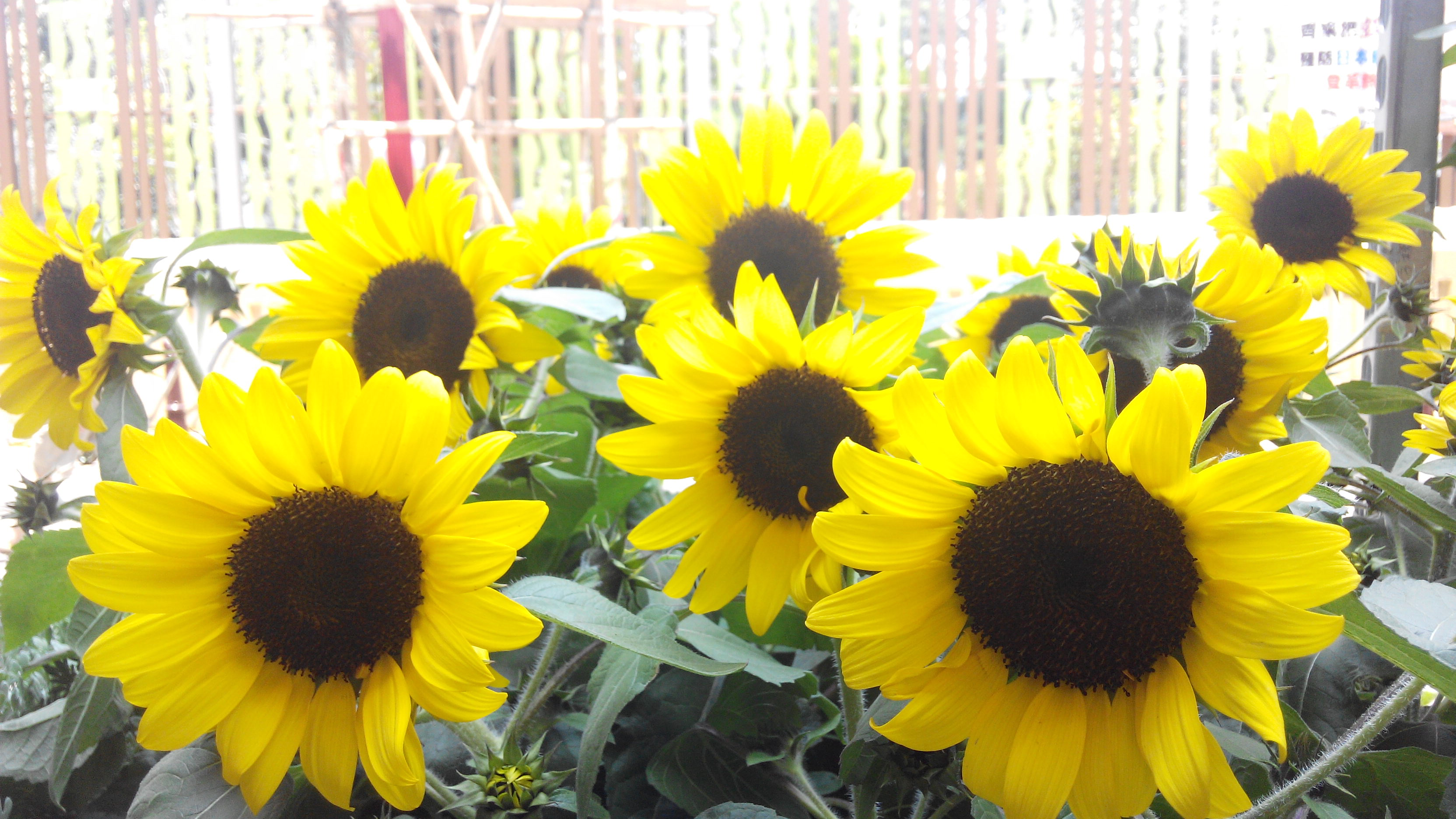 Filehk Mongkok Flower Market Road Yellow Daisy Sunflowers April