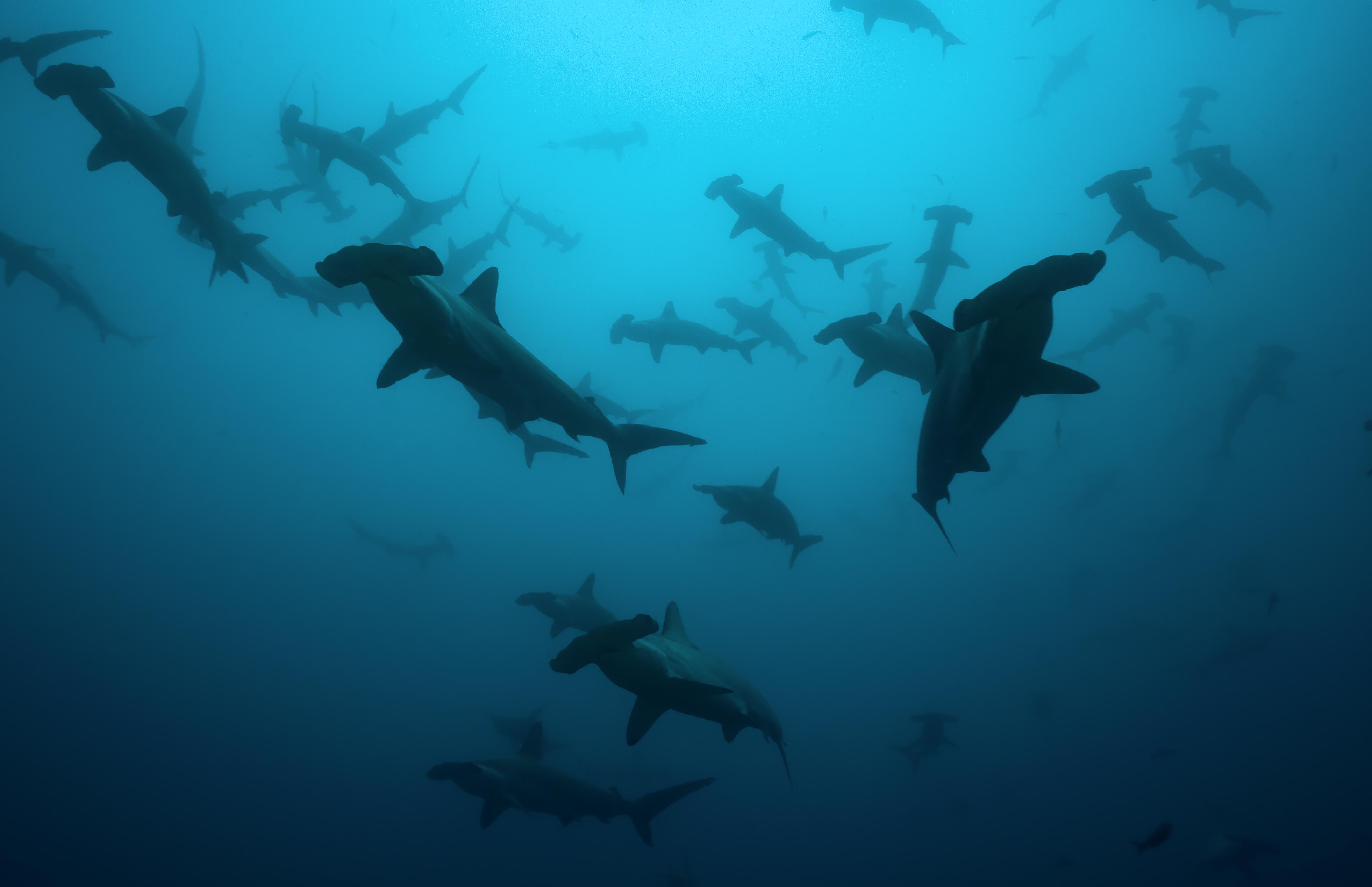 Buceo en Baja California, tiburones martillo.