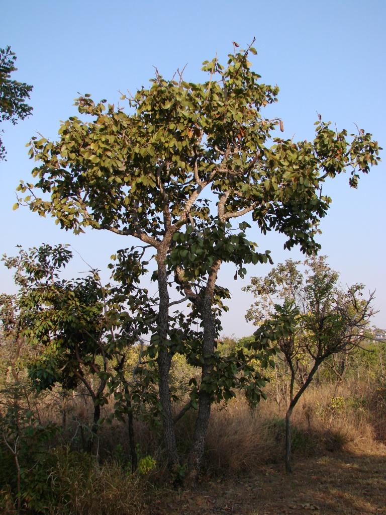 Hymenaea - Wikipedia