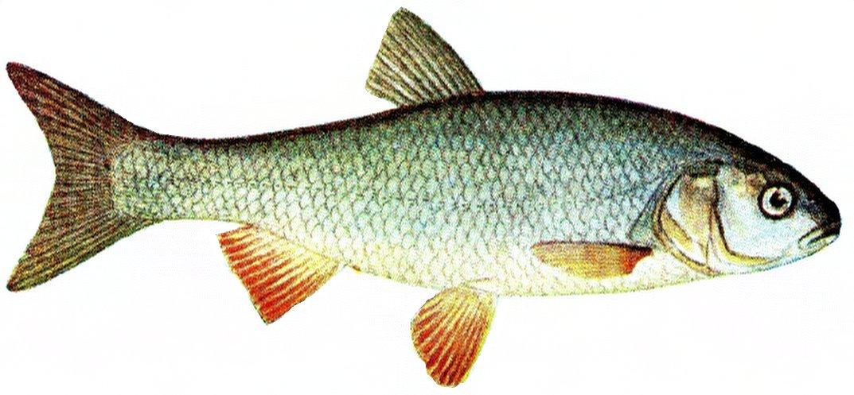 Leuciscus idus - Wikipedia, la enciclopedia libre