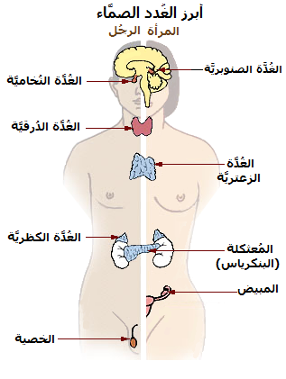 ملف Illu Endocrine System New Ar Png ويكيبيديا