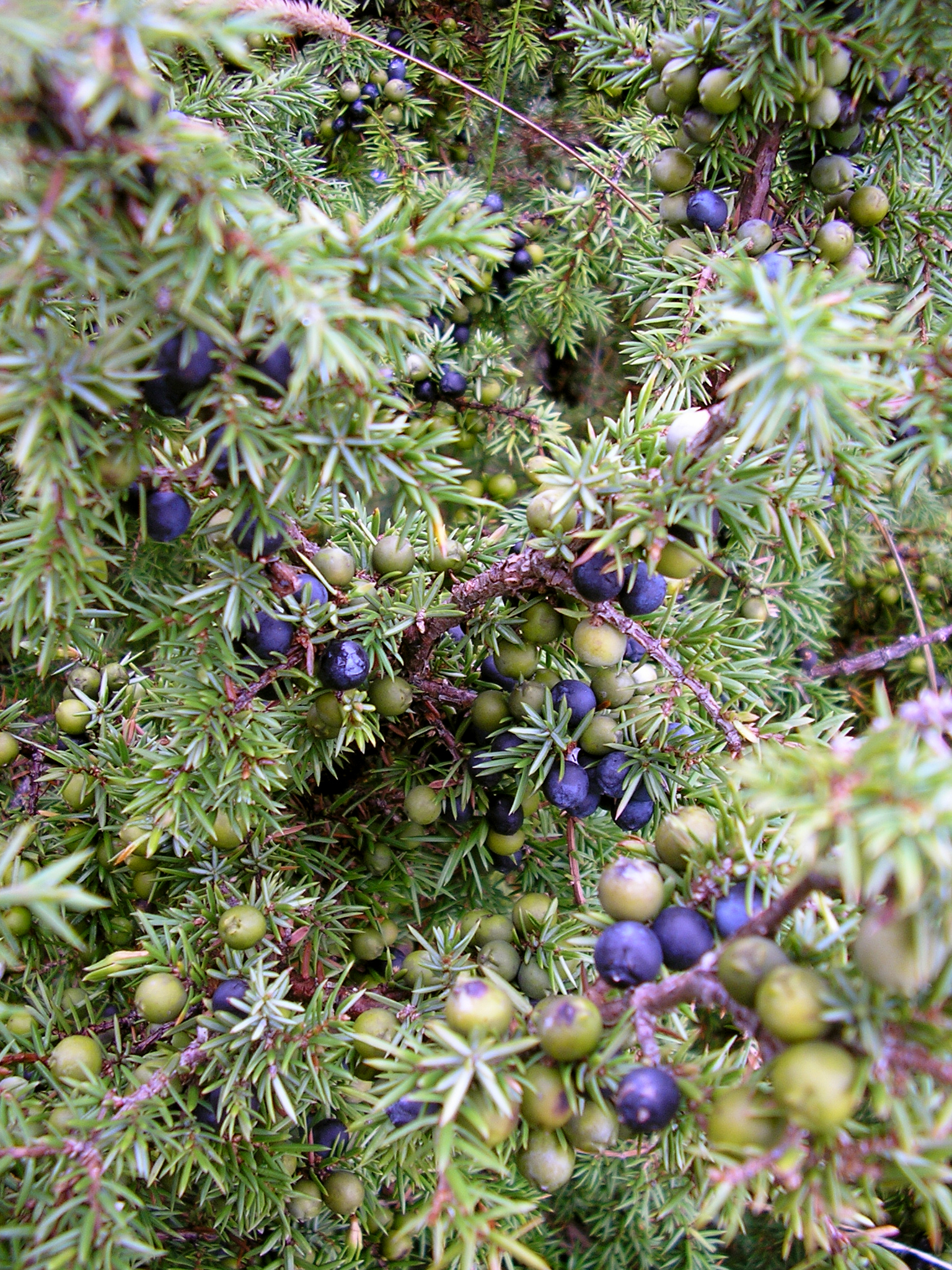 Web page for The juniper