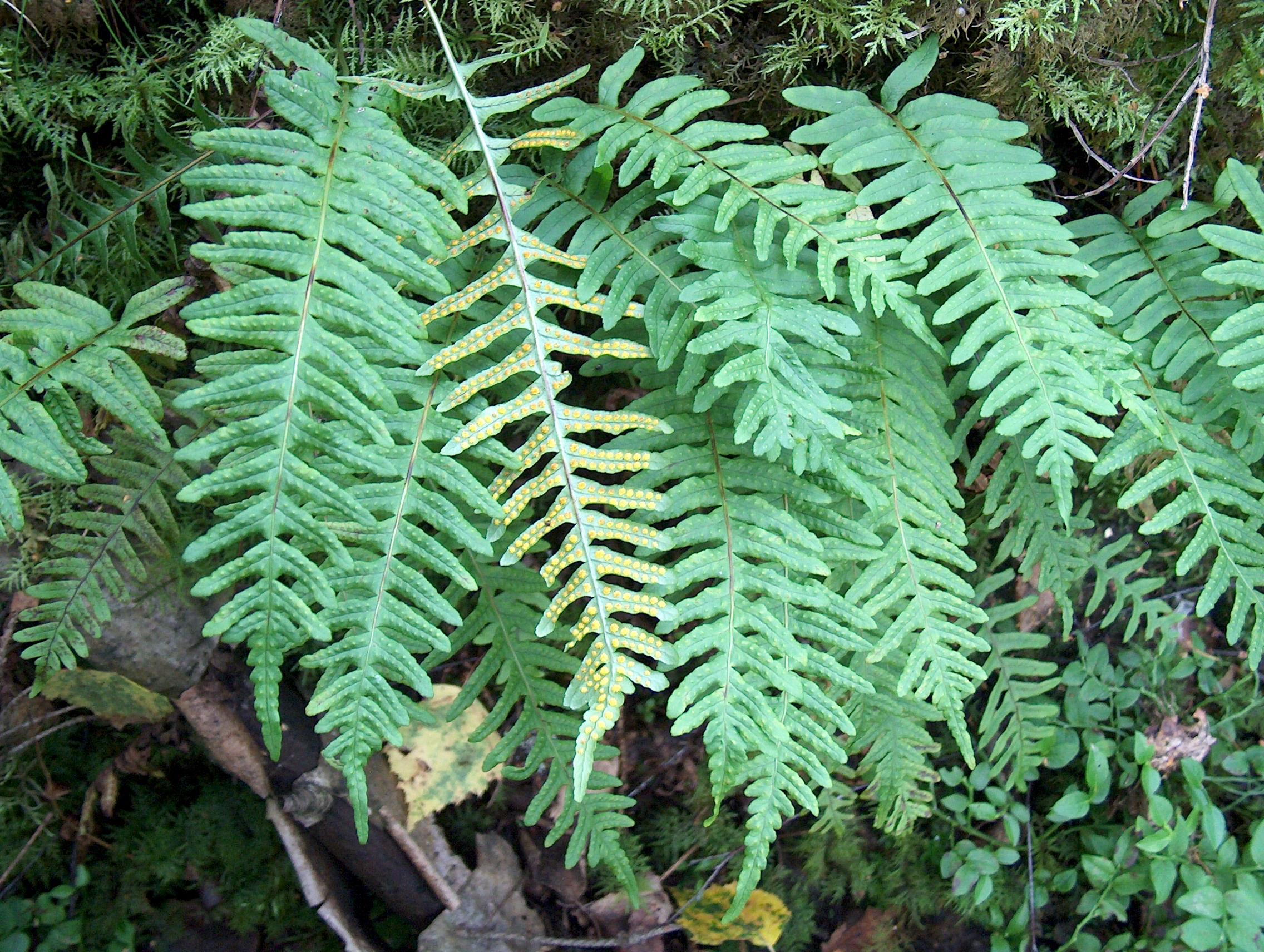 Eikvaren (Polypodium vulgare)   Directplant