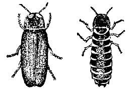 Svietivka svätojánska - vľavo samček, vpravo samička