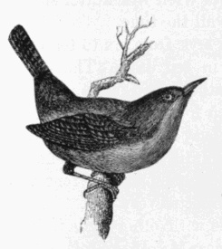 File:Little Wren Drawing.jpg