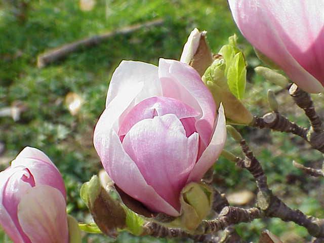 file magnolia x soulangeana m denudata x m liliiflora. Black Bedroom Furniture Sets. Home Design Ideas
