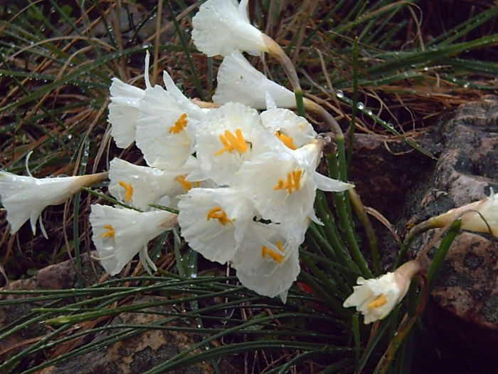 Narcissus cantabricus, daffodils