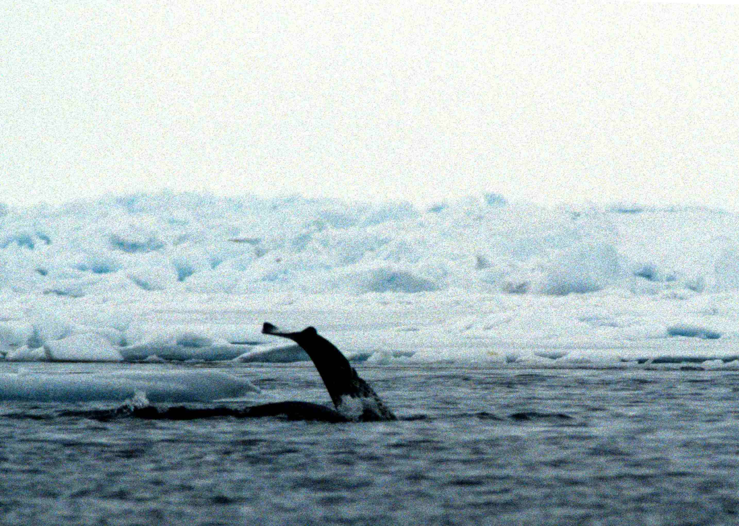 file narwhal 1 1995 06 10 jpg wikimedia commons