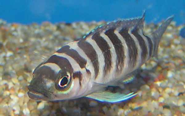 Neolamprologus Cylindricus File:Neolamprol...