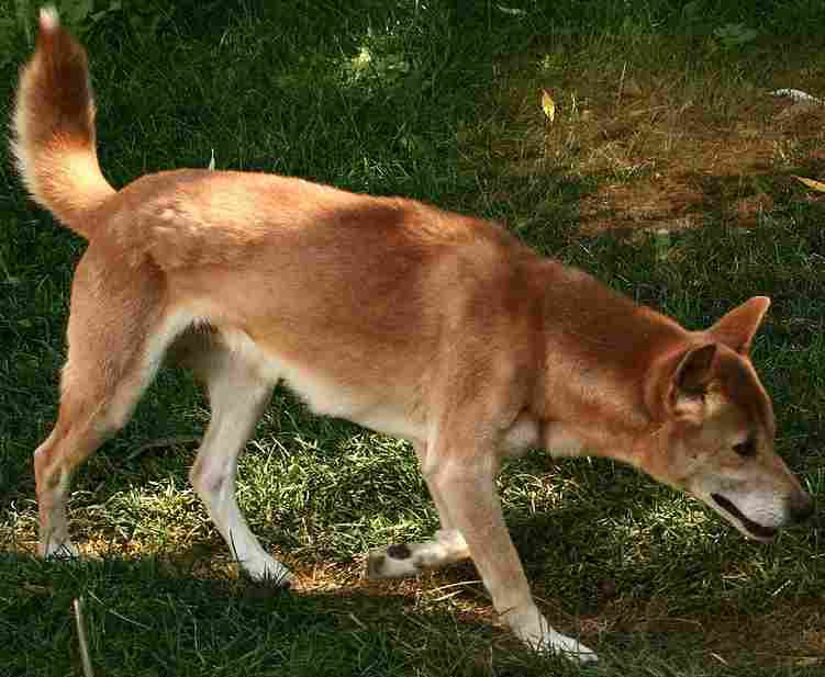 Description New Guinea Singing Dog on trail-Cropped.jpg