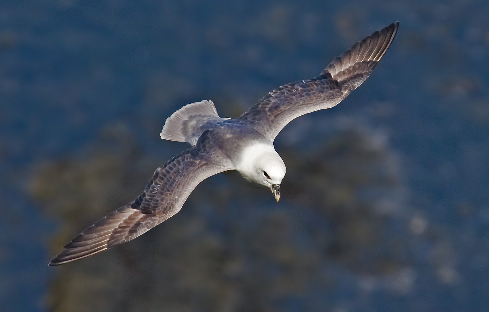 Hunting Northern Fulmar in iceland