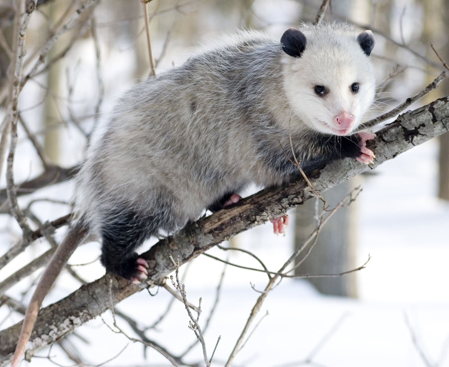 asian animals of opossum pictures