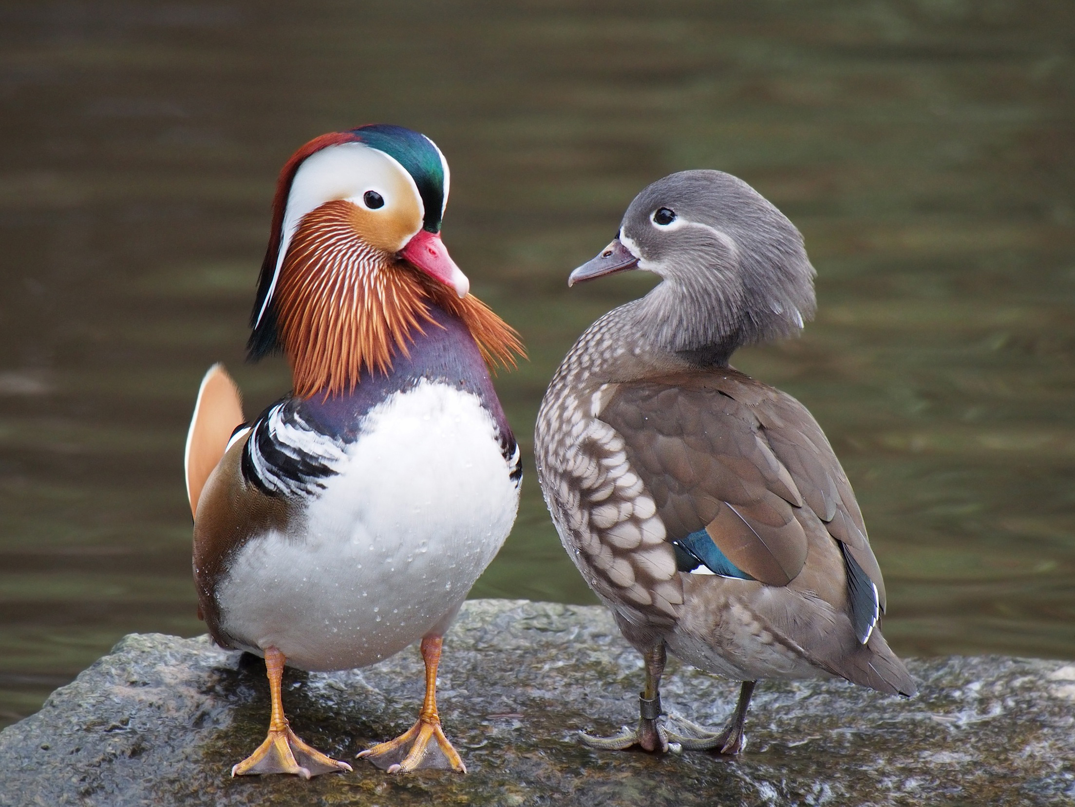 Pair_of_mandarin_ducks.jpg