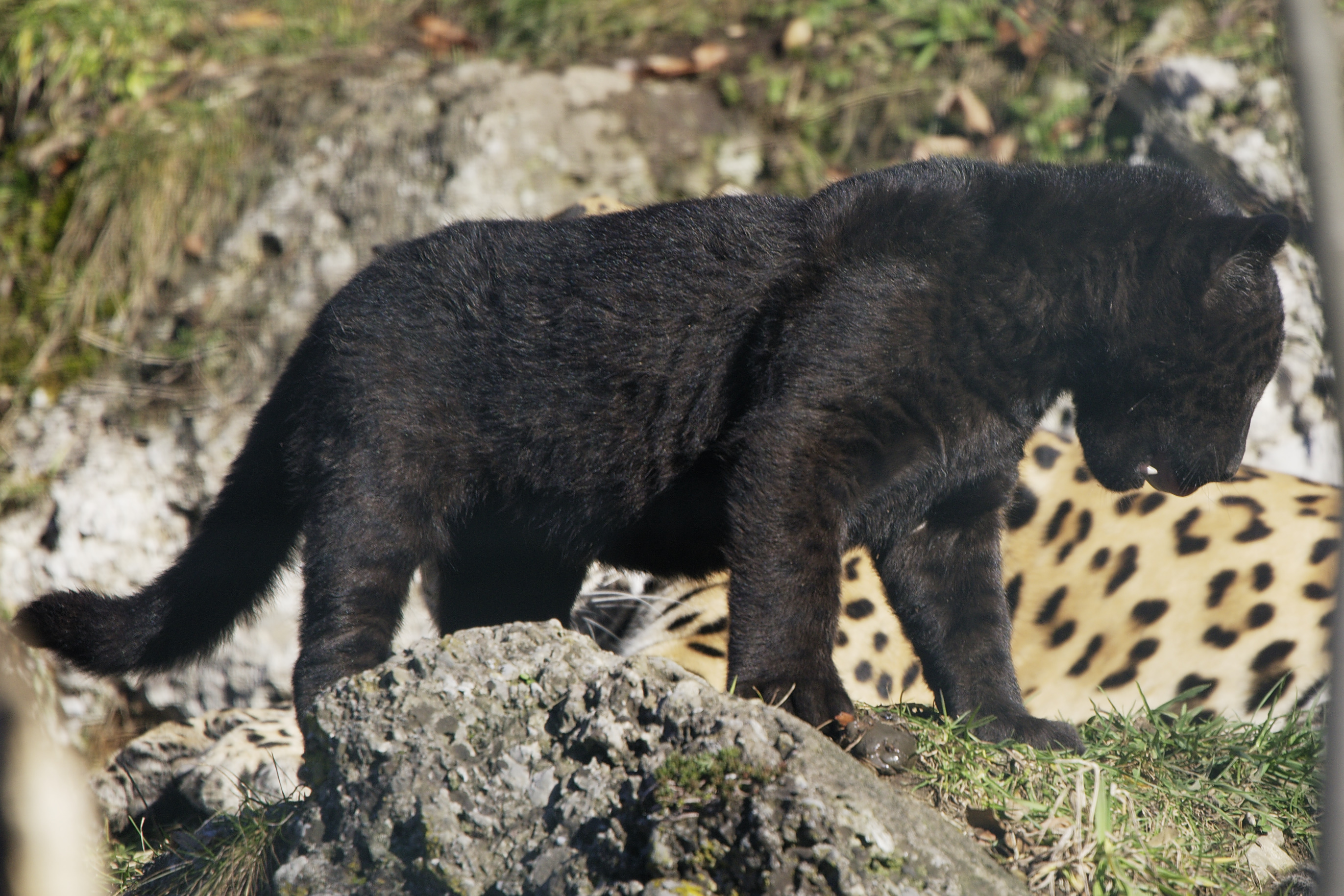 history of panthera onca Paternity testing and behavioral ecology: a case study of jaguars (panthera onca) in emas national park, central brazil 首席医学网 2007.