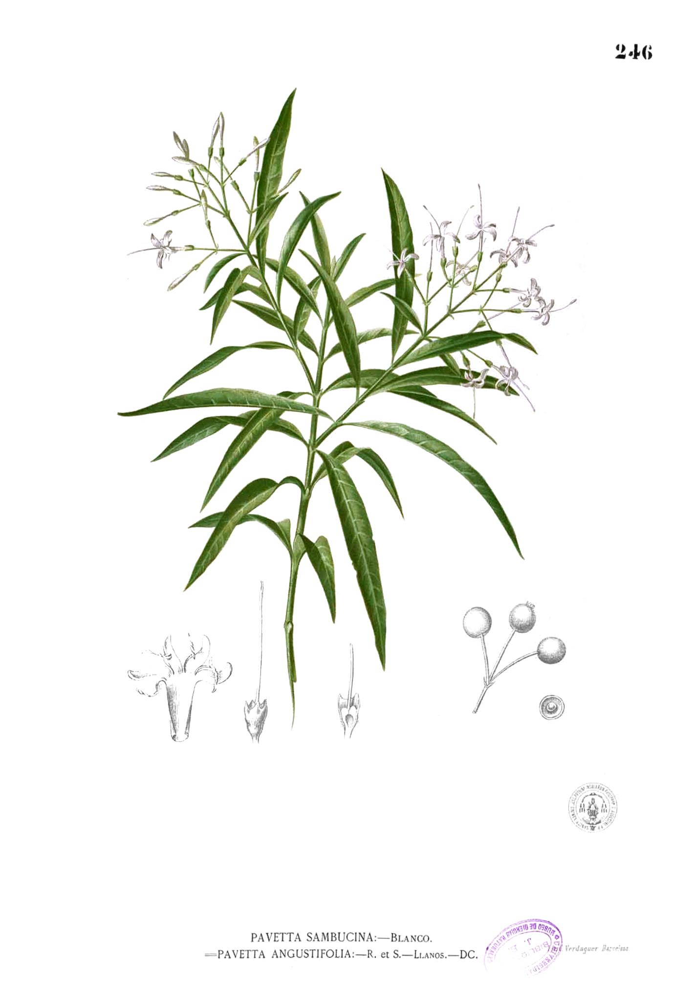 Depiction of Pavetta