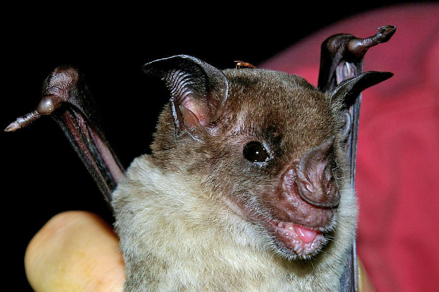 The average litter size of a Pale spear-nosed bat is 1