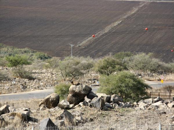 שפן סלע צופה על כביש הכניסה