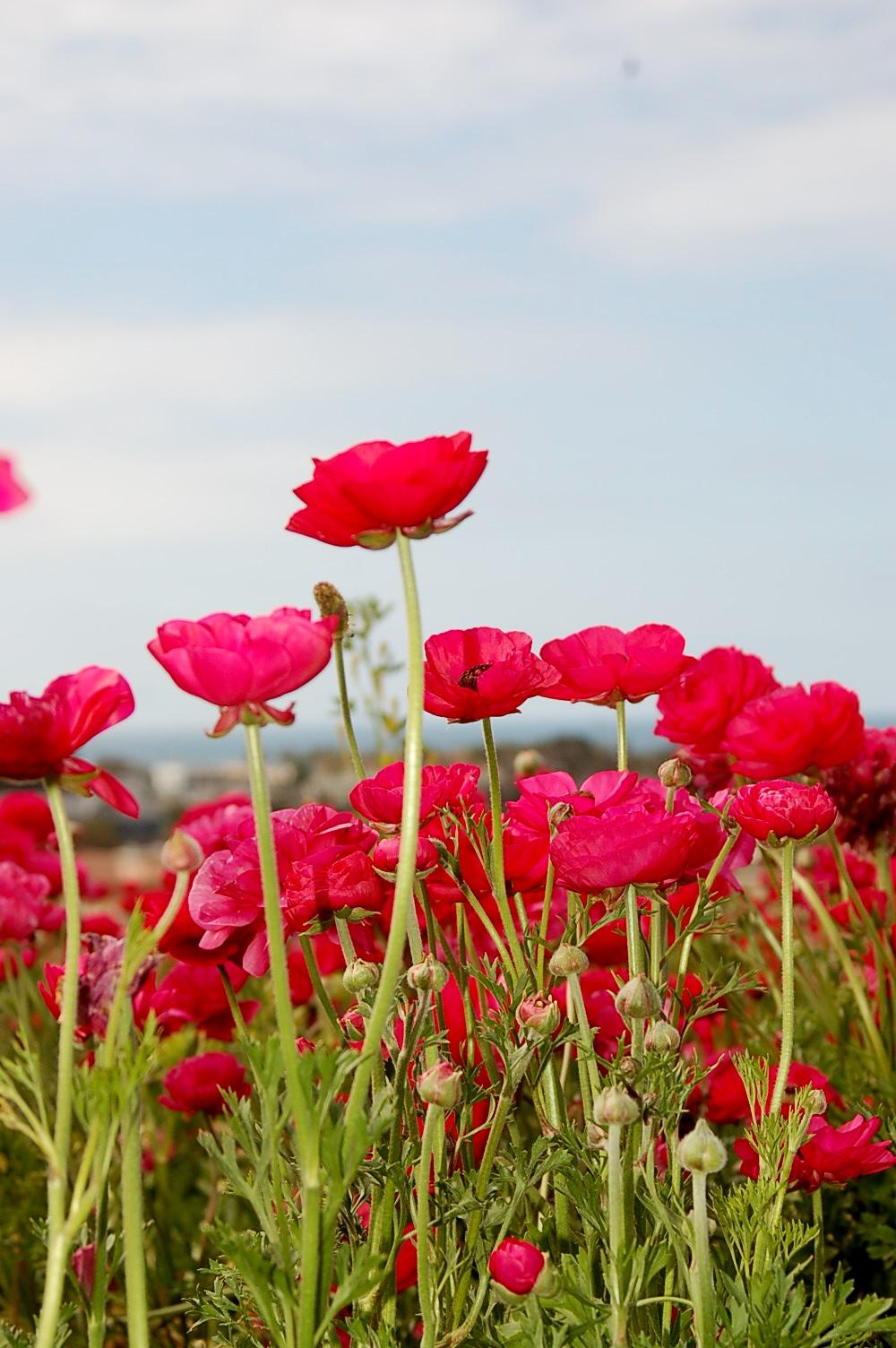 Filepretty Red Flowersg Wikimedia Commons