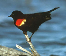 Photo of redwing blackbird