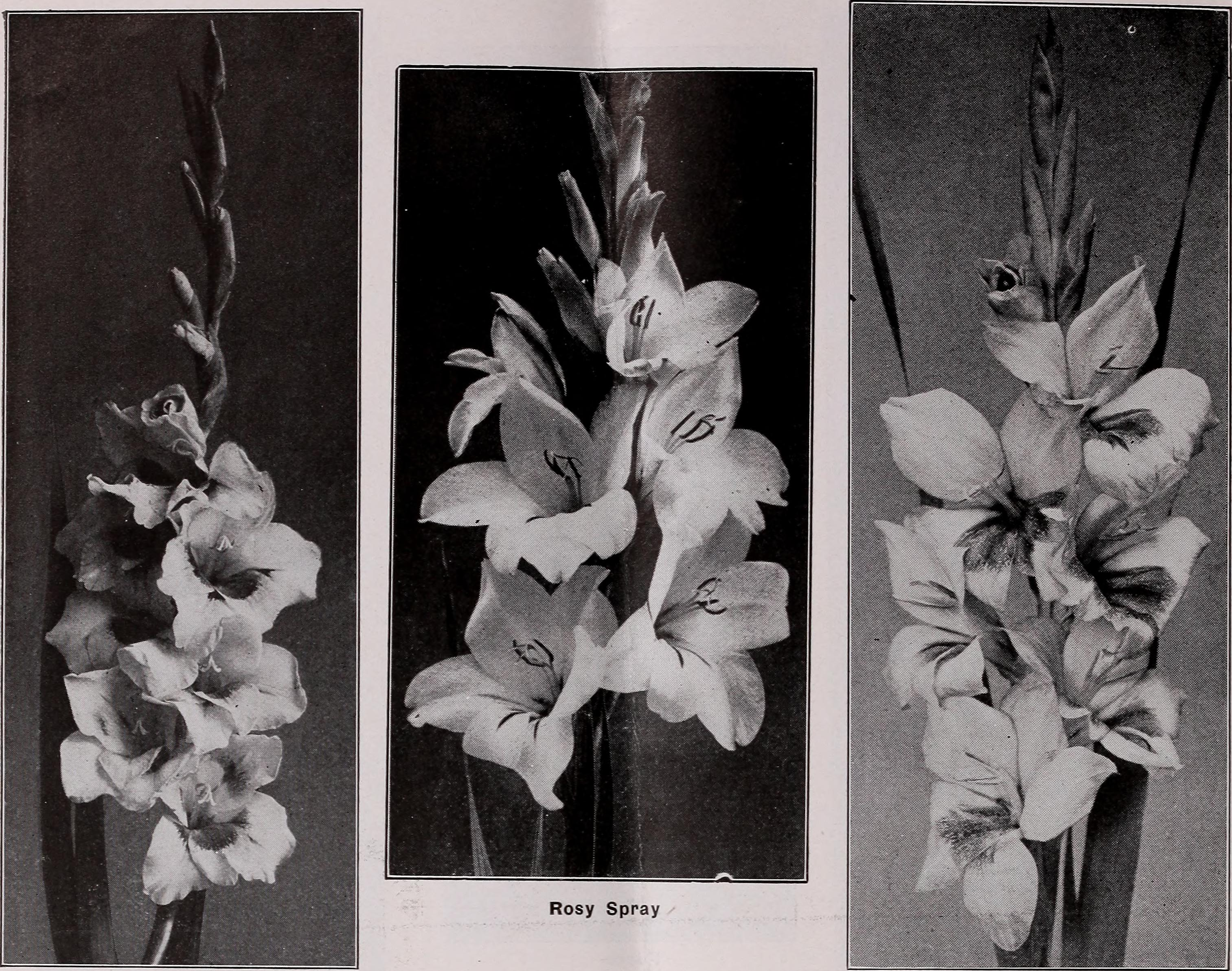Fileseason of trade catalogue of choice gladioli and other summer fileseason of trade catalogue of choice gladioli and other summer flowering bulbs and mightylinksfo