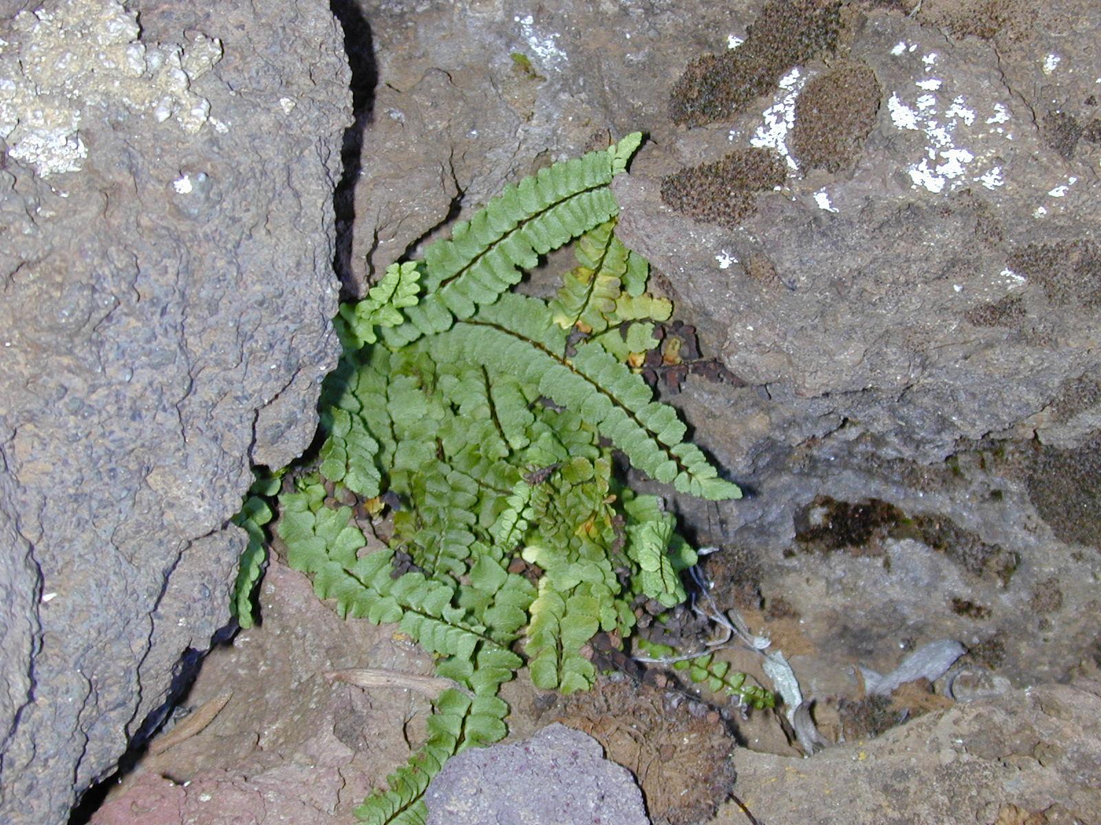 Trichomanes Subsp Trichomanes Subsp Densum