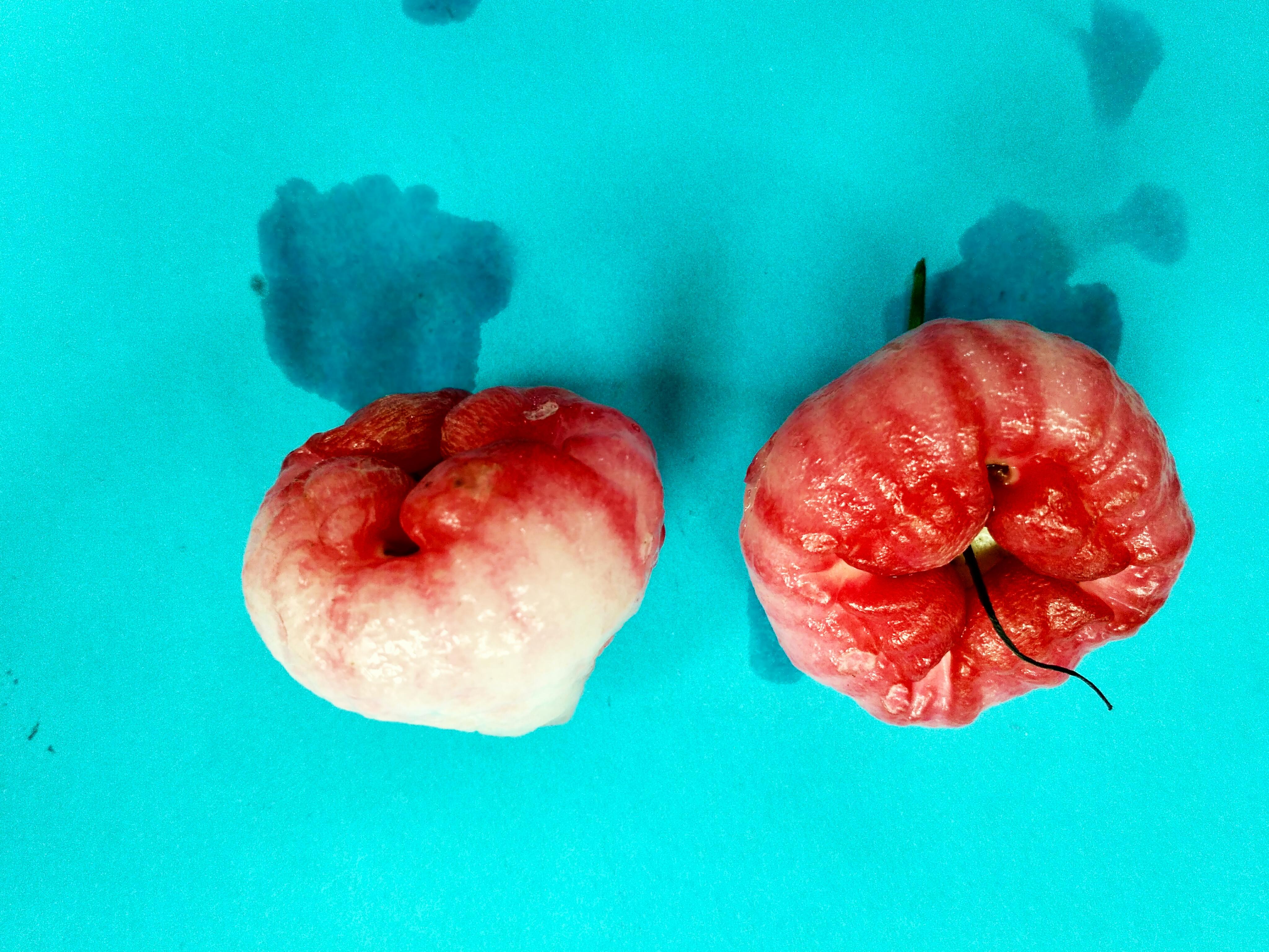 File:Syzygium samarangense-Java Apple -জামরুল jpg