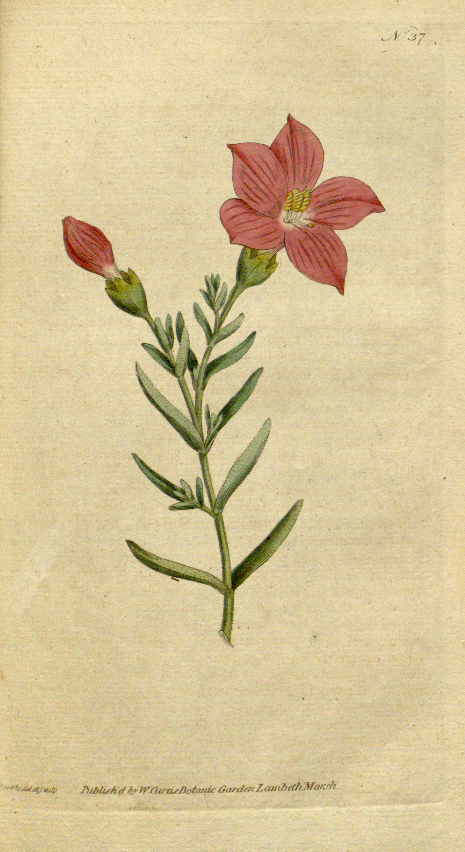 File The Botanical Magazine Plate 37 Volume 2 1788 Png