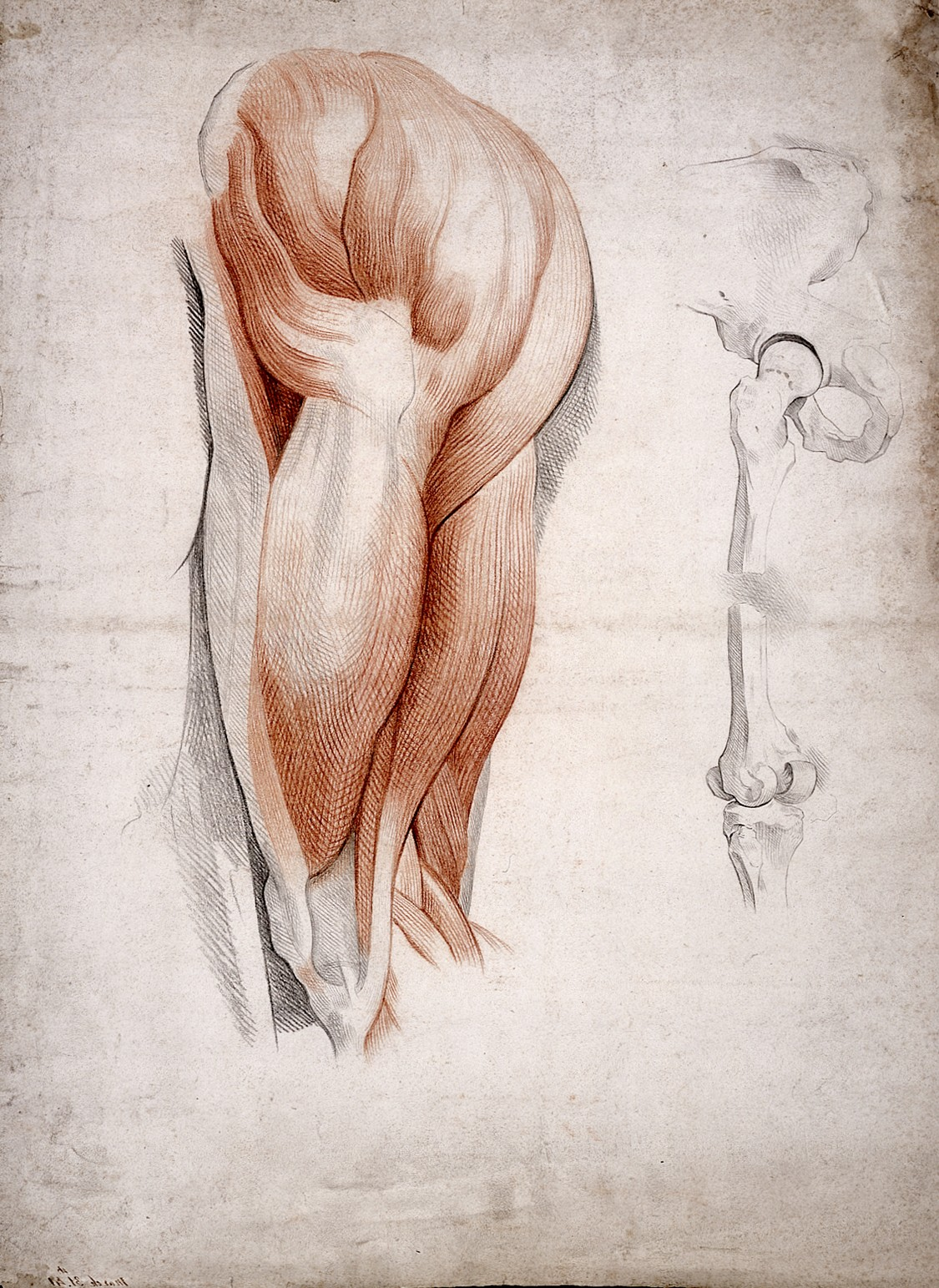 Filethe Bones And Muscles Of The Hip And Thigh Drawing 1841
