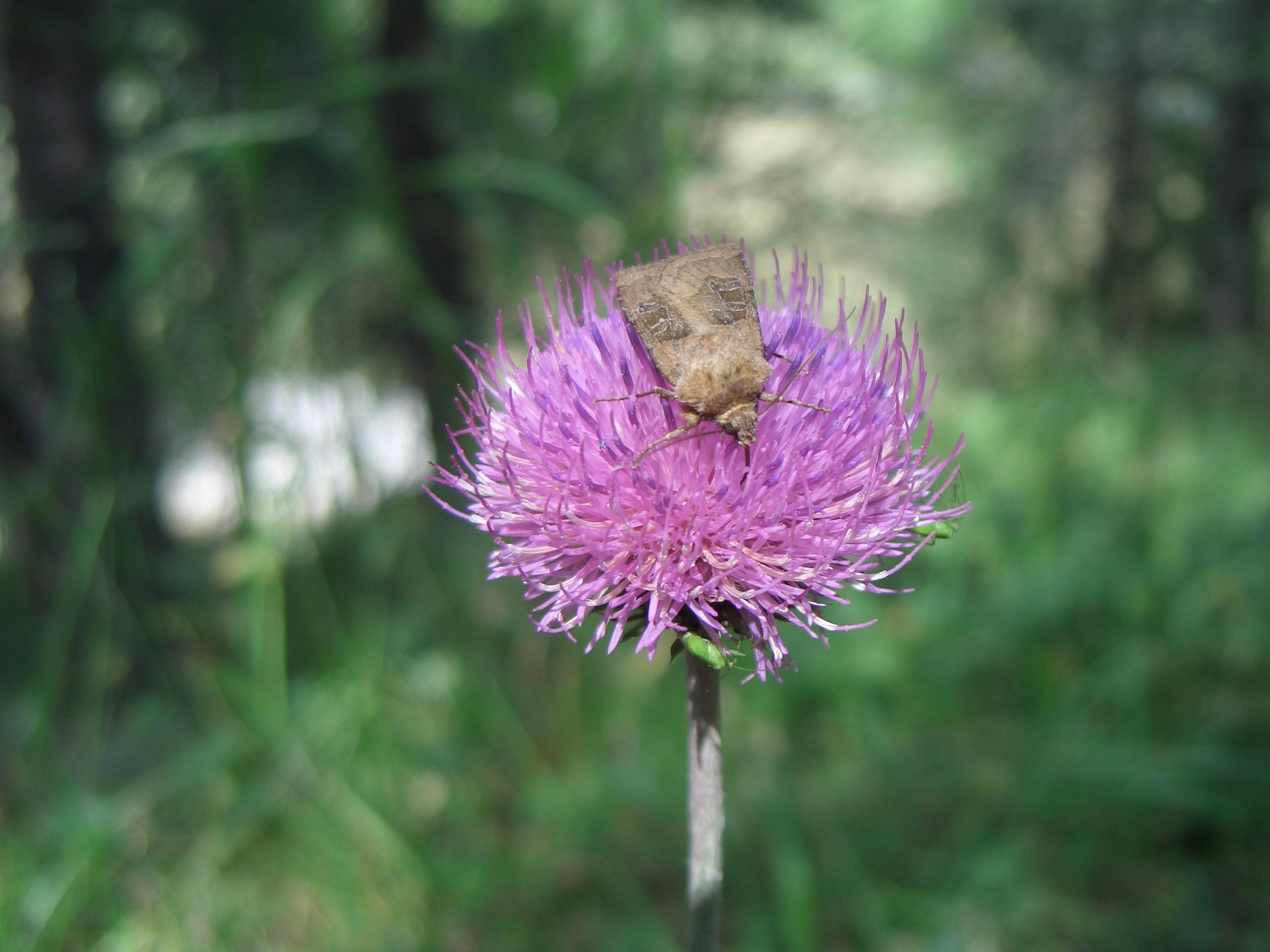 Bestandthistle Flower And Mothjpg Wikipedia