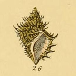 <i>Ariadnaria</i> genus of molluscs