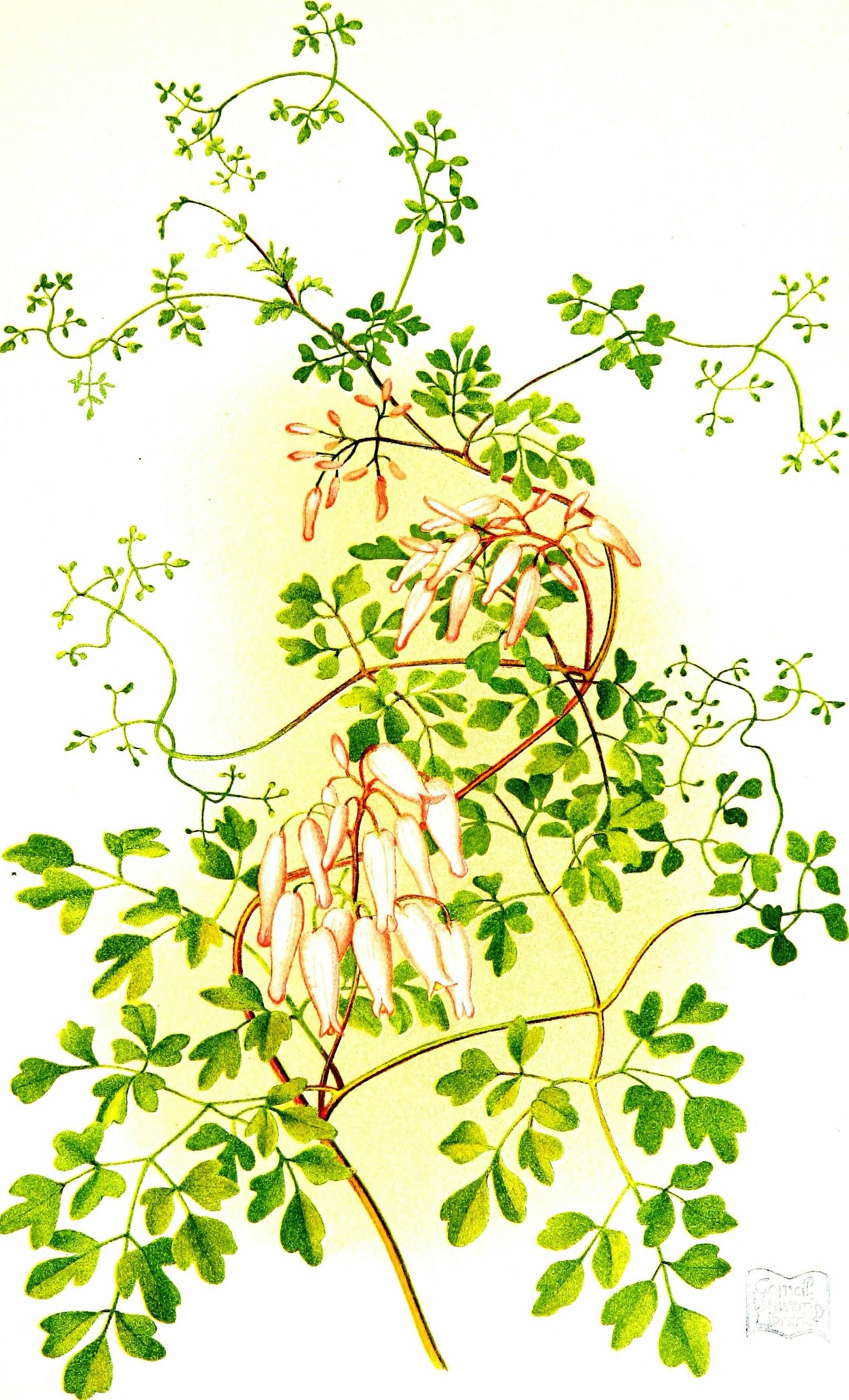 File:Wayside flowers and ferns from original water-color drawings by ...